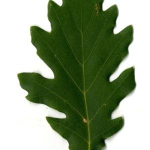 Photographie n°30343 du taxon Quercus pubescens Willd. [1805]