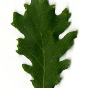 Photographie n°30344 du taxon Quercus pubescens Willd. [1805]