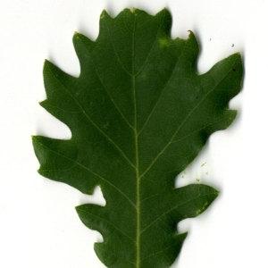 Photographie n°30345 du taxon Quercus pubescens Willd. [1805]