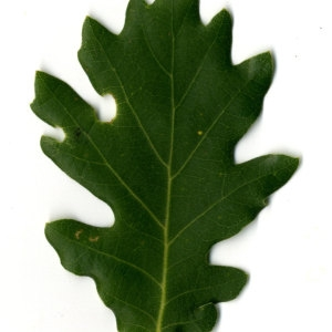 Photographie n°30346 du taxon Quercus pubescens Willd. [1805]