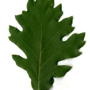 Photographie n°30347 du taxon Quercus pubescens Willd. [1805]