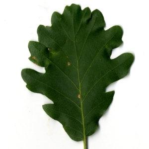 Photographie n°30348 du taxon Quercus pubescens Willd. [1805]