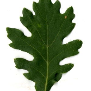 Photographie n°30350 du taxon Quercus pubescens Willd. [1805]