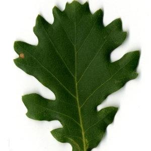 Photographie n°30351 du taxon Quercus pubescens Willd. [1805]