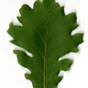 Photographie n°30352 du taxon Quercus pubescens Willd. [1805]
