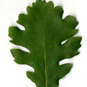 Photographie n°30353 du taxon Quercus pubescens Willd. [1805]