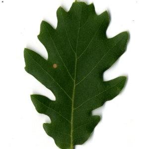Photographie n°30354 du taxon Quercus pubescens Willd. [1805]