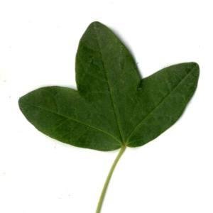 Photographie n°30400 du taxon Acer monspessulanum L. [1753]