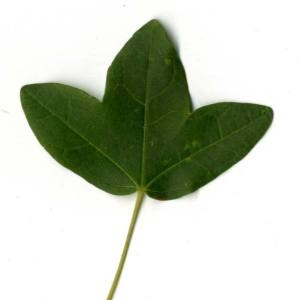 Photographie n°30401 du taxon Acer monspessulanum L. [1753]