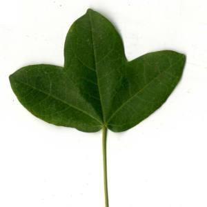 Photographie n°30402 du taxon Acer monspessulanum L. [1753]