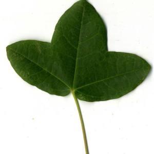 Photographie n°30403 du taxon Acer monspessulanum L. [1753]