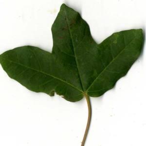 Photographie n°30404 du taxon Acer monspessulanum L. [1753]