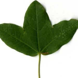Photographie n°30405 du taxon Acer monspessulanum L. [1753]