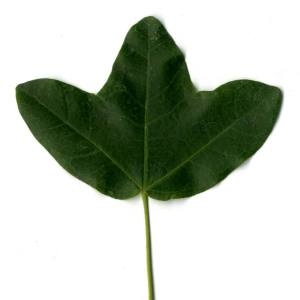 Photographie n°30406 du taxon Acer monspessulanum L. [1753]