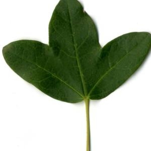 Photographie n°30407 du taxon Acer monspessulanum L. [1753]