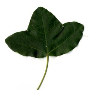 Photographie n°30409 du taxon Acer monspessulanum L. [1753]