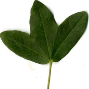 Photographie n°30410 du taxon Acer monspessulanum L. [1753]