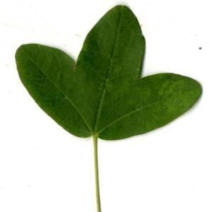 Photographie n°30411 du taxon Acer monspessulanum L. [1753]
