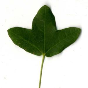 Photographie n°30412 du taxon Acer monspessulanum L. [1753]