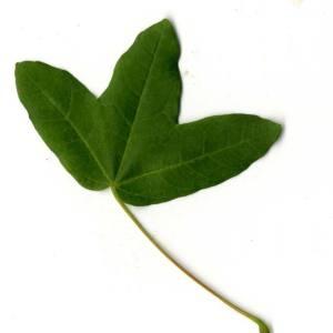 Photographie n°30414 du taxon Acer monspessulanum L. [1753]