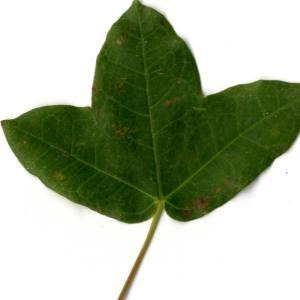 Photographie n°30416 du taxon Acer monspessulanum L. [1753]