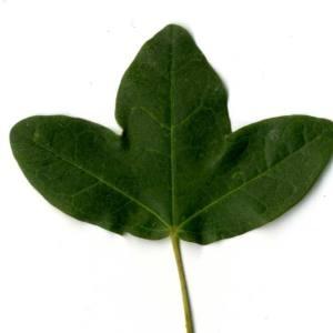 Photographie n°30417 du taxon Acer monspessulanum L. [1753]