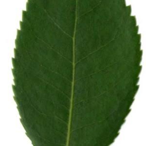 Photographie n°30444 du taxon Arbutus unedo L. [1753]