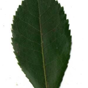 Photographie n°30445 du taxon Arbutus unedo L. [1753]