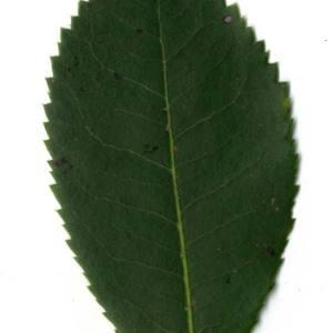 Photographie n°30446 du taxon Arbutus unedo L. [1753]