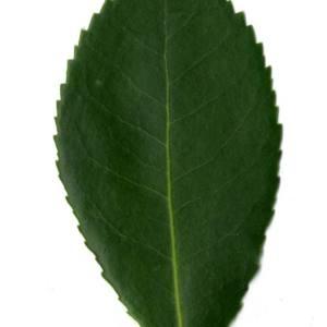 Photographie n°30449 du taxon Arbutus unedo L. [1753]