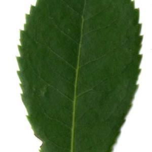 Photographie n°30450 du taxon Arbutus unedo L. [1753]