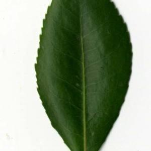 Photographie n°30452 du taxon Arbutus unedo L. [1753]