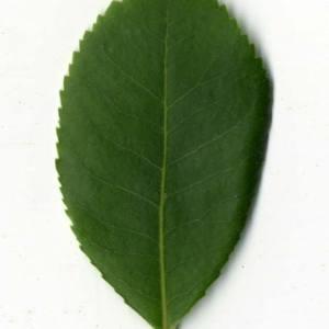 Photographie n°30454 du taxon Arbutus unedo L. [1753]