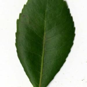 Photographie n°30458 du taxon Arbutus unedo L. [1753]