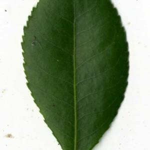 Photographie n°30459 du taxon Arbutus unedo L. [1753]