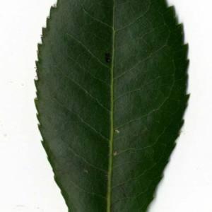 Photographie n°30460 du taxon Arbutus unedo L. [1753]