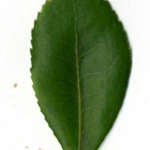 Photographie n°30461 du taxon Arbutus unedo L. [1753]