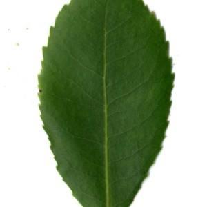 Photographie n°30462 du taxon Arbutus unedo L. [1753]