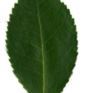 Photographie n°30463 du taxon Arbutus unedo L. [1753]