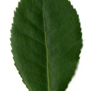 Photographie n°30465 du taxon Arbutus unedo L. [1753]