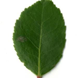Photographie n°30467 du taxon Arbutus unedo L. [1753]