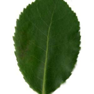 Photographie n°30468 du taxon Arbutus unedo L. [1753]