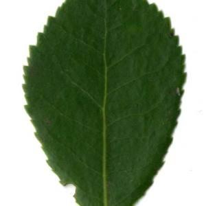Photographie n°30469 du taxon Arbutus unedo L. [1753]