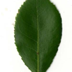 Photographie n°30470 du taxon Arbutus unedo L. [1753]