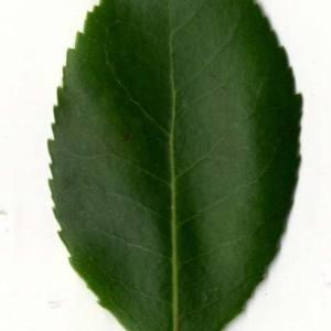 Photographie n°30471 du taxon Arbutus unedo L. [1753]