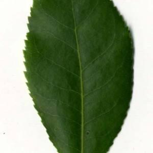 Photographie n°30472 du taxon Arbutus unedo L. [1753]