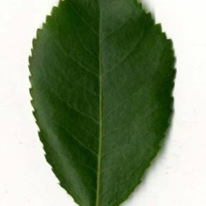 Photographie n°30473 du taxon Arbutus unedo L. [1753]