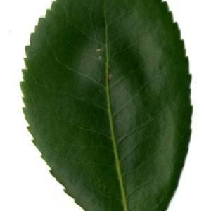 Photographie n°30474 du taxon Arbutus unedo L. [1753]