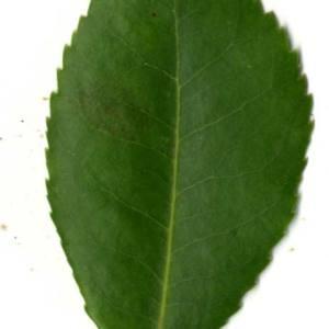Photographie n°30475 du taxon Arbutus unedo L. [1753]