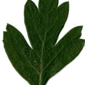 Photographie n°30636 du taxon Crataegus azarolus L. [1753]
